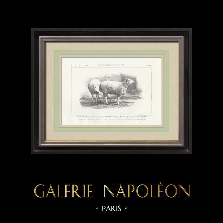 Gravures Anciennes & Dessins | Races Ovines - Mouton - Brebis - Race New-Leicester | Lithographie | 1856