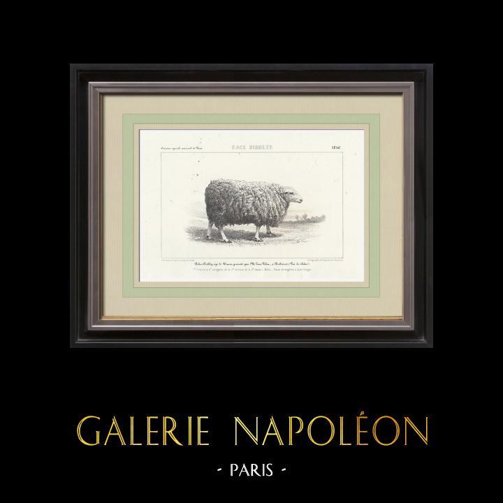 Gravures Anciennes & Dessins   Races Ovines - Mouton - Bélier - Race Dishley   Lithographie   1856