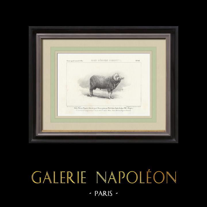 Gravures Anciennes & Dessins | Races Ovines - Mouton - Bélier - Race Merinos Negretti | Lithographie | 1856