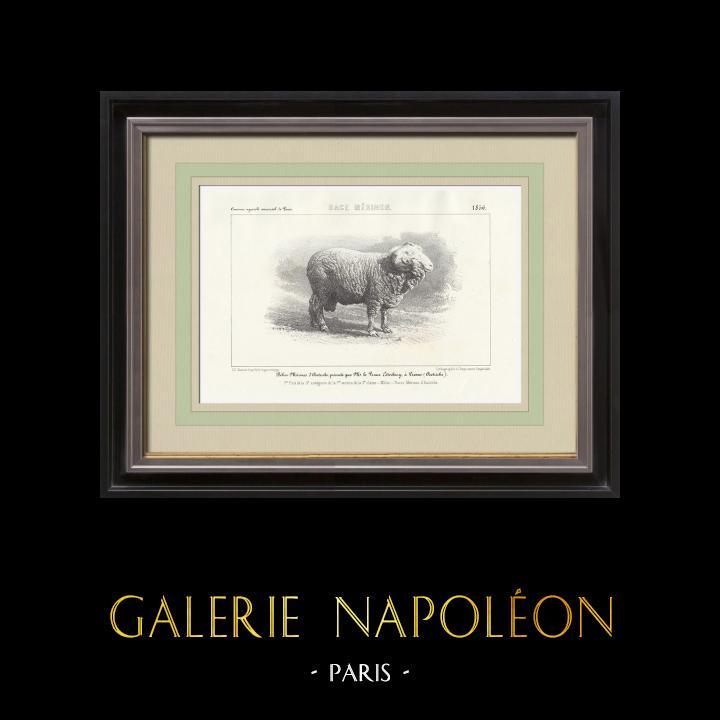 Gravures Anciennes & Dessins | Races Ovines - Mouton - Bélier - Race Merinos | Lithographie | 1856
