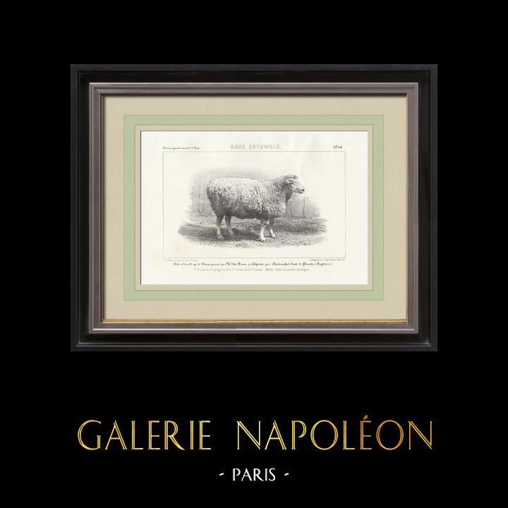 Gravures Anciennes & Dessins | Races Ovines - Mouton - Bélier - Race Cotswold | Lithographie | 1856