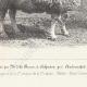 DÉTAILS 05 | Races Ovines - Mouton - Bélier - Race Cotswold