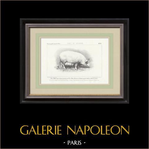 Raças de Porco - Porco - Raça Woburn | Litografia original. Anónima. 1856