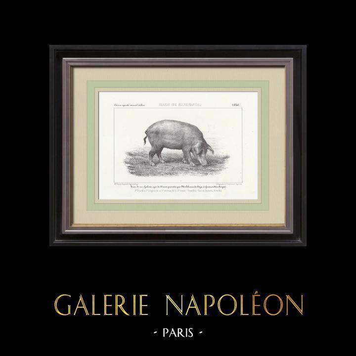 Gravures Anciennes & Dessins | Races Porcines - Truie - Race Szalonta | Lithographie | 1856