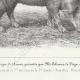 DÉTAILS 05 | Races Porcines - Truie - Race Szalonta