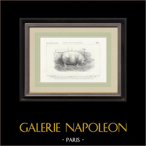 Raças de Porco - Porco - Raça New-Leicester | Litografia original. Anónima. 1856