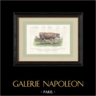 Races Bovines - Vache - Race Femeline