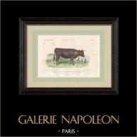 Cattle Breeds - Cow - Breed Bretonne