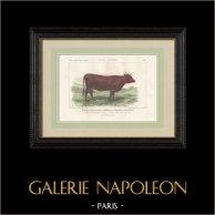 Cattle Breeds - Cow - Breed Devon