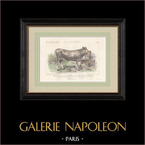 Races Bovines - Vache - Race Garonnaise | Lithographie originale. Anonyme. Aquarellée à la main. 1859