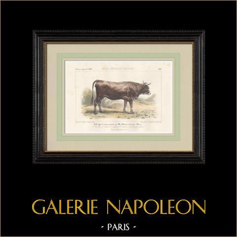 Races Bovines - Vache - Race Aubrac - Salers | Lithographie originale. Anonyme. Aquarellée à la main. 1859
