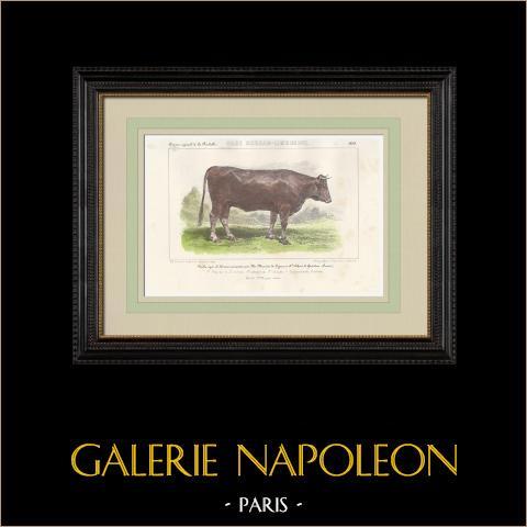 Races Bovines - Vache - Race Durham - Shorthorn - Limousine | Lithographie originale. Anonyme. Aquarellée à la main. 1859