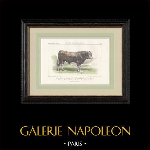 Races Bovines - Taureau - Race Garonnaise | Lithographie originale. Anonyme. Aquarellée à la main. 1859