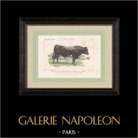 Cattle Breeds - Bull - Breed Durham - Shorthorn
