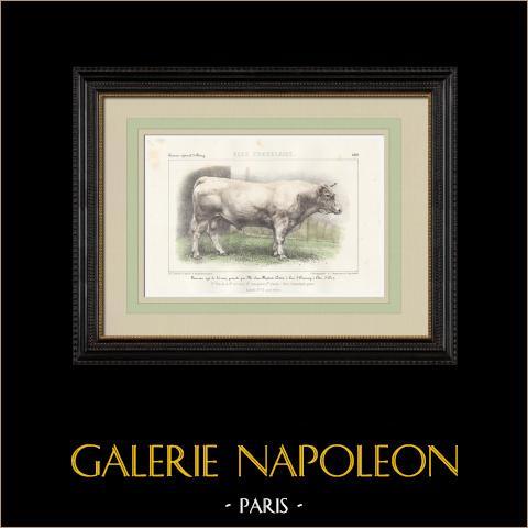 Races Bovines - Taureau - Race Charolaise | Lithographie originale. Anonyme. Aquarellée à la main. 1859