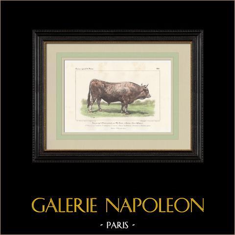 Races Bovines - Taureau - Race Parthenaise - Choletaise - Nantaise | Lithographie originale. Anonyme. Aquarellée à la main. 1859