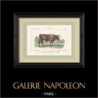 Cattle Breeds - Bull - Breed Bretonne