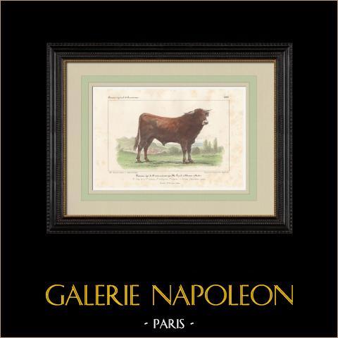 Races Bovines - Taureau - Race Française Pure | Lithographie originale. Anonyme. Aquarellée à la main. 1859