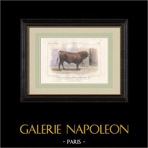 Races Bovines - Taureau - Race Gasconne | Lithographie originale. Anonyme. Aquarellée à la main. 1859