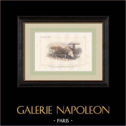 Raças de Porco - Porco - Raça Race Indigène Pure | Litografia original. Anónima. Aquarelada a mão. 1859