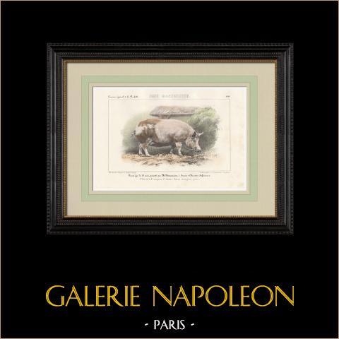 Raças de Porco - Raça Race Indigène Pure | Litografia original. Anónima. Aquarelada a mão. 1859