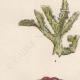 DÉTAILS 02   Plantes et Fleurs - Champignon - Clathre rouge - Clathrus ruber - Phallaceae