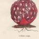 DÉTAILS 03   Plantes et Fleurs - Champignon - Clathre rouge - Clathrus ruber - Phallaceae