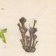 DÉTAILS 04   Plantes et Fleurs - Champignon - Clathre rouge - Clathrus ruber - Phallaceae
