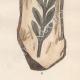 DÉTAILS 06   Plantes et Fleurs - Champignon - Clathre rouge - Clathrus ruber - Phallaceae