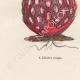 DÉTAILS 07   Plantes et Fleurs - Champignon - Clathre rouge - Clathrus ruber - Phallaceae