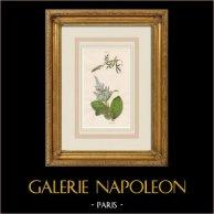 Plants and Flowers - Yellow mignonette - False helleborine