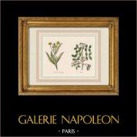 Plants and Flowers - Ranunculus lingua - Guaiacum
