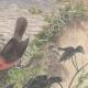 DÉTAILS 04 | Leiocephalus Grayi - Pyrocephalus Nanus - Tenagra Darwin (Îles Galápagos)