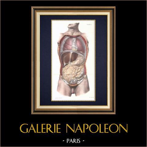 Människokroppen - Anatomi - Bröstben - Buken   Original litografi efter teckningar av Emile Beau. 1866