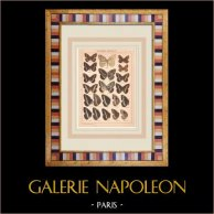 Butterfly - Callarge - Satyrus