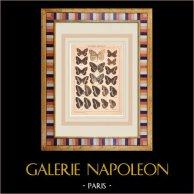 Papillon - Callarge - Satyrus