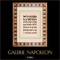 Papillon - Aphantopus - Epinephele