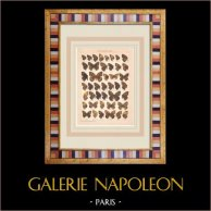 Papillon - Epinephele