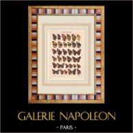 Papillon - Precis - Vanessa