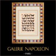 Butterfly - Calliana - Notocrypta