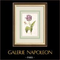 Flores de jardín - Tulipán