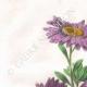 DÉTAILS 01 | Fleurs du jardin - Reine-Marguerite ou Aster de Chine