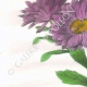 DÉTAILS 02 | Fleurs du jardin - Reine-Marguerite ou Aster de Chine