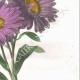 DÉTAILS 04 | Fleurs du jardin - Reine-Marguerite ou Aster de Chine