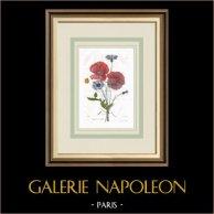 Flores de jardín - Amapola - Aciano