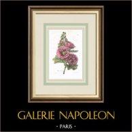 Garden Flowers - Common hollyhock