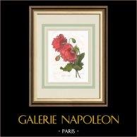 Garden Flowers - Opium poppy