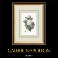 Garden Flowers - Guelder-rose