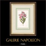 Garden Flowers - Oleander