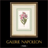 Flores de jardín - Adelfa - Baladre